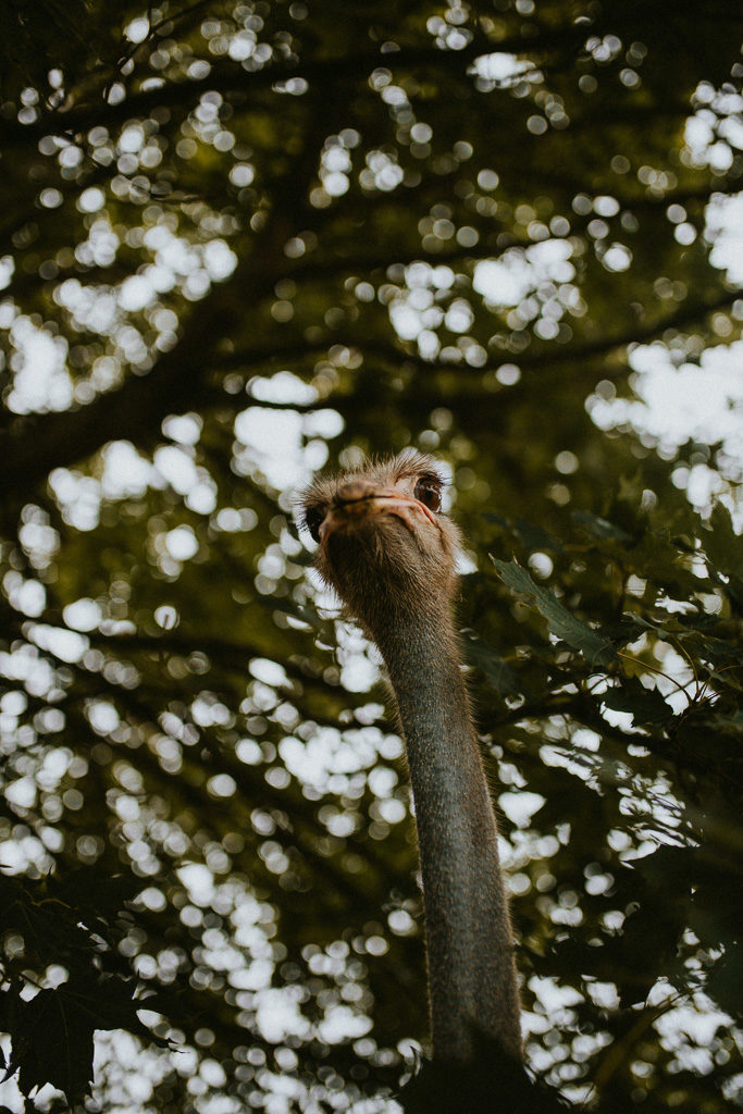 glendoria mazury struś pytlikbak