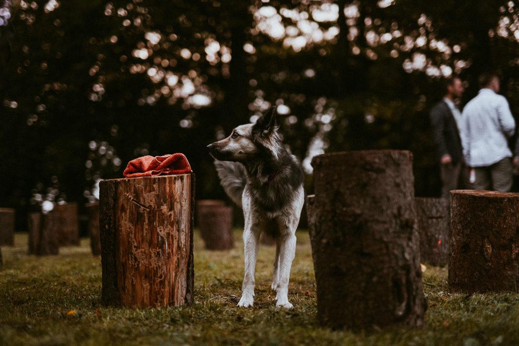 pies kajko na weselu plenerowym
