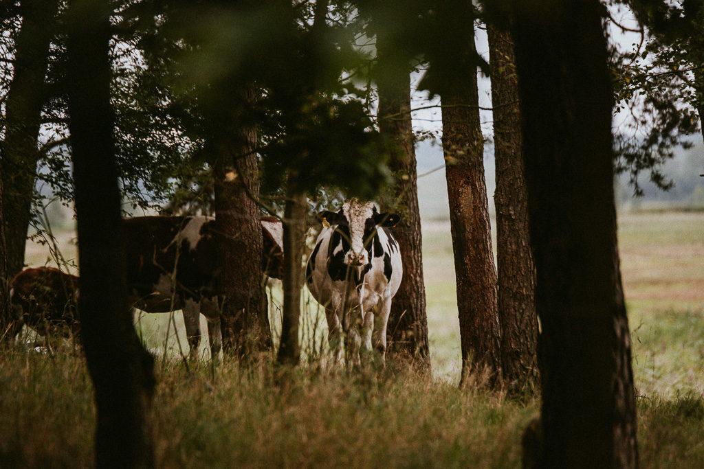 mazurksie krowy krowa na mazurach w lesie pytlikbak