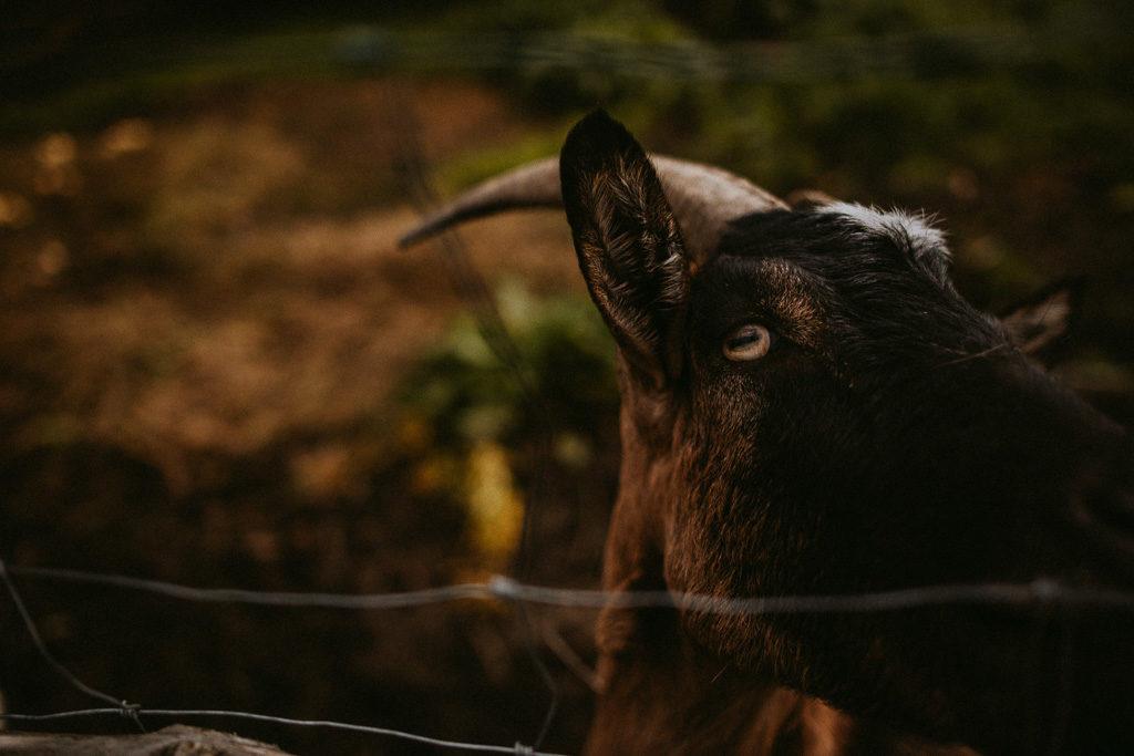 glendoria mazury wypoczynek pytlikbak koza