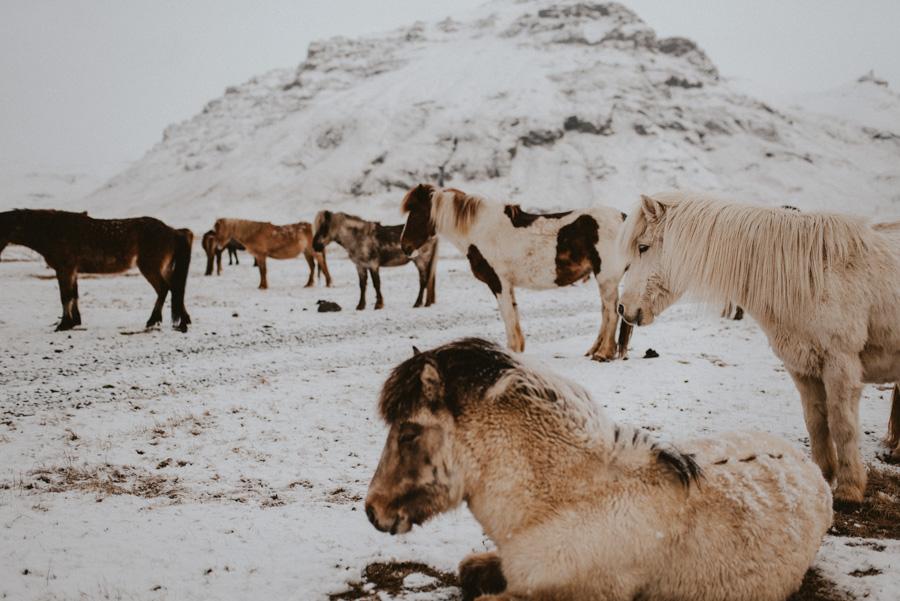 islandia koniec kuce islandzkie travel trip pytlikbak