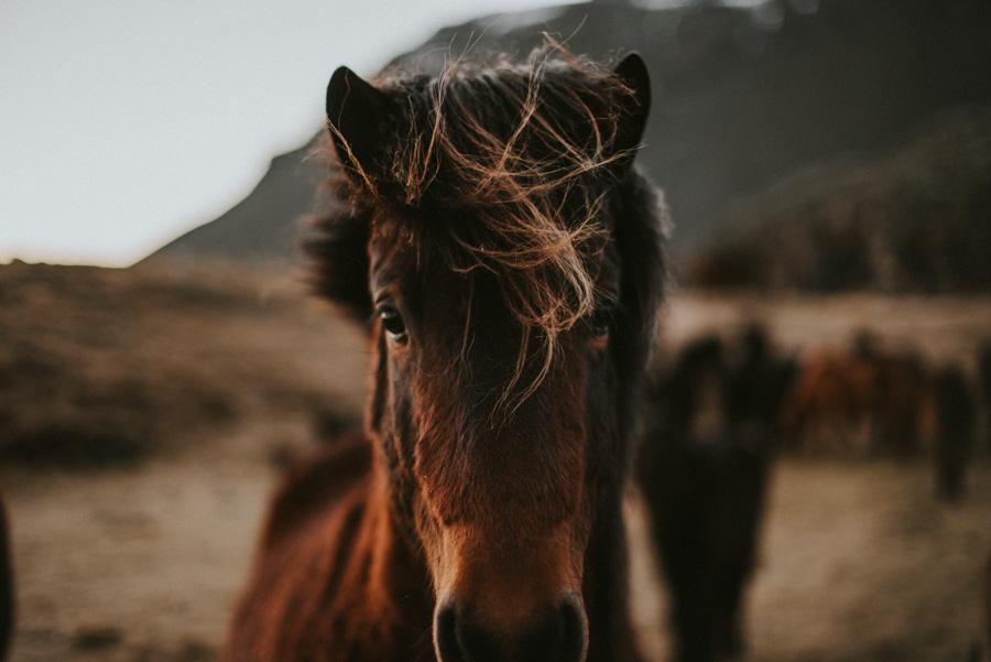 icelandic horses islandzkie konie pytlikbak podróż