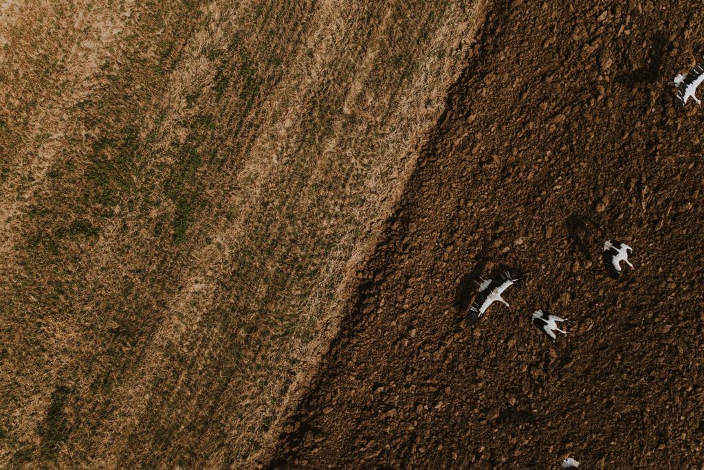 Zdjęcie z drona odlatujące bociany na polach w polsce
