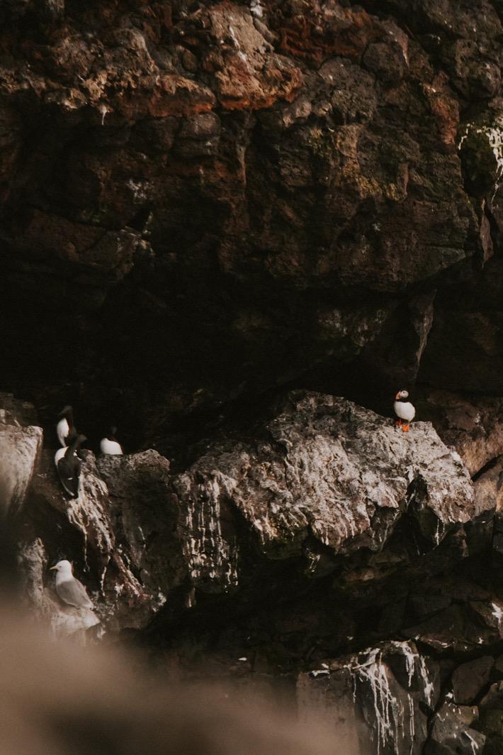 puffin maskonur islandia