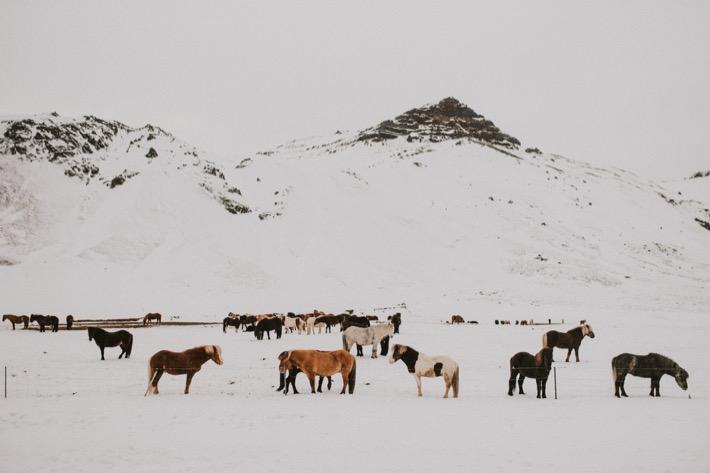 Islandzkie konie kuce pytlikbak